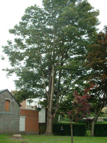 Erable sycomore – Etterbeek, Parc Fontenay, Rue Général Fivé, 18-20 –  16 Mai 2003