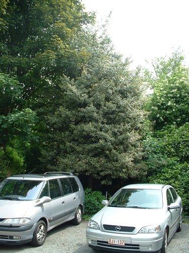 Ilex aquifolium 'Albomarginata' – Etterbeek, Rue des Cultivateurs, 25 –  16 Mai 2003