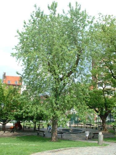 Witte esdoorn – Etterbeek, Leopoldstadsquare –  21 Mei 2003