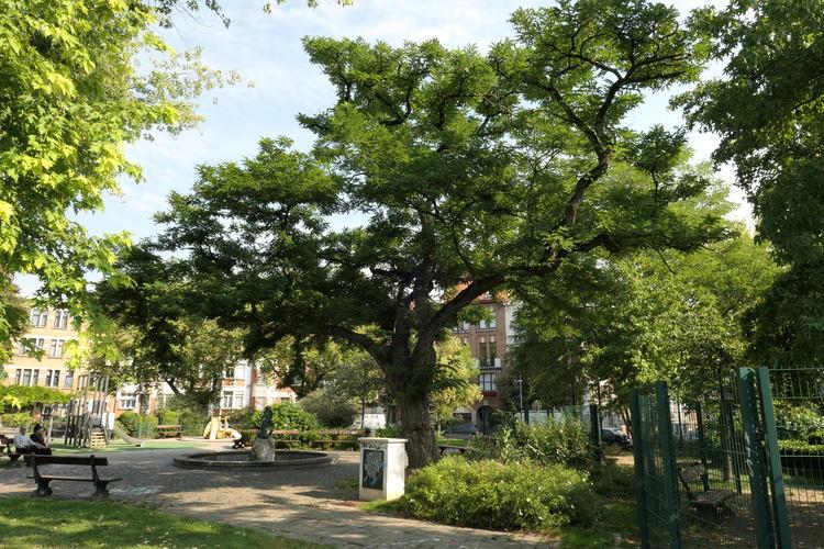 Robinier faux-acacia – Etterbeek, Square de Léopoldville –  27 Août 2019