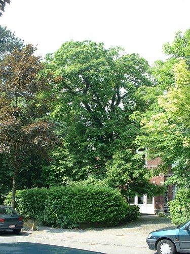 Tamme kastanje – Ukkel, Gatti de Gamondstraat, 151 –  27 Mei 2003