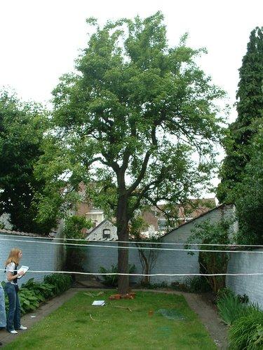 Poirier cultivé – Etterbeek, Avenue de la Chasse, 148 –  02 Juin 2003