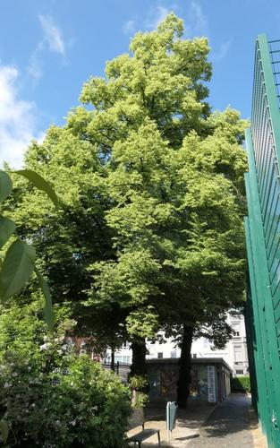 Tilleul à petites feuilles – Ixelles, Plaine Renier Chalon, Rue Renier Chalon –  06 Juin 2019