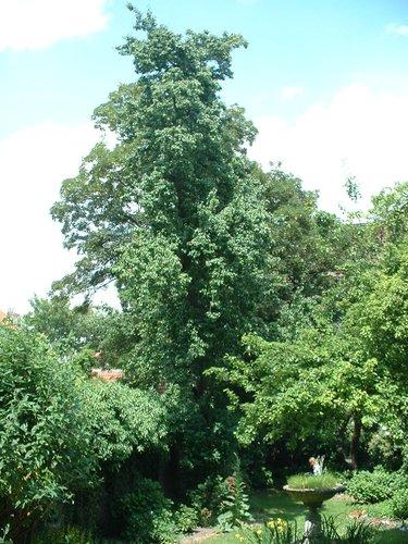 Poirier cultivé – Ixelles, Chaussée de Waterloo, 426 –  04 Juin 2003