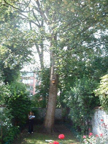 Erable sycomore – Ixelles, Rue Franz Merjay, 5 –  04 Juin 2003
