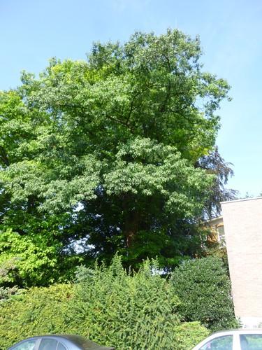 Chêne rouge d'Amérique – Bruxelles, Site de l'Hôpital Brugmann , Place Arthur Van Gehuchten, 4 –  01 Août 2014
