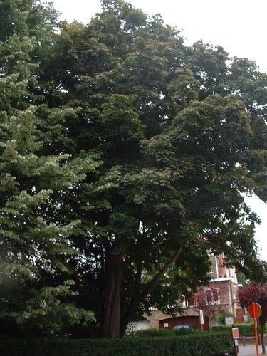 Acer platanoides f. schwedleri – Auderghem, Avenue Henri de Brouckère, 48 –  10 Juin 2003