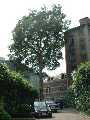 Erable sycomore – Bruxelles, Avenue Louise, 415 –  06 Juin 2003