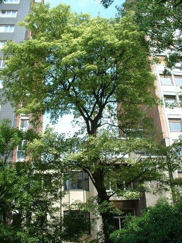 Acer pseudoplatanus f. aureovariegatum – Bruxelles, Avenue Louise, 423 –  06 Juin 2003