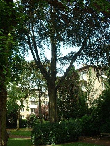 Rode beuk – Elsene, Buchholtzpark, Amerikaanse Straat –  11 Juni 2003