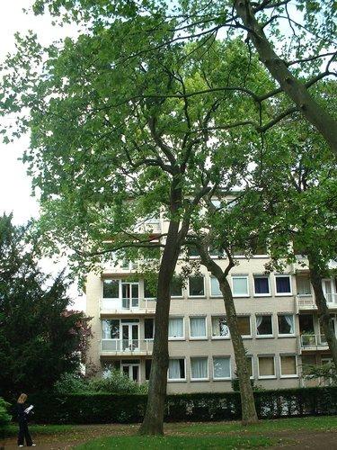 Quercus sp – Ixelles, Parc Buchholtz, Rue Américaine –  11 Juin 2003