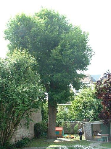 Frêne commun – Ixelles, Rue Berkendael, 193 –  11 Juin 2003