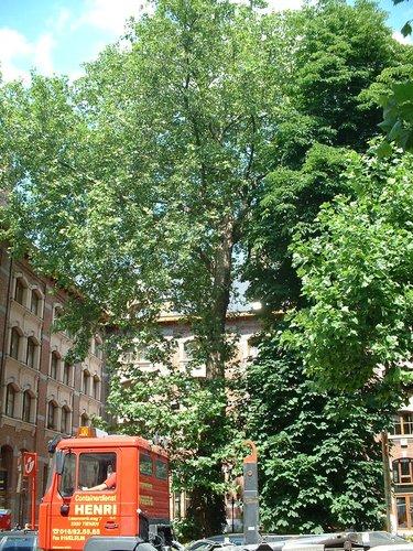 Platane à feuille d'érable – Ixelles, Chaussée de Waterloo, 412 –  13 Juin 2003