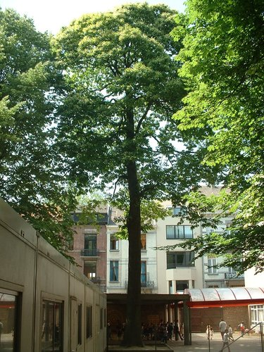 Châtaignier – Ixelles, Rue Africaine, 3 –  13 Juin 2003