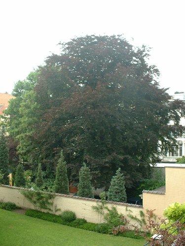 Hêtre pourpre – Ixelles, Rue de Livourne, 37 –  08 Juillet 2003