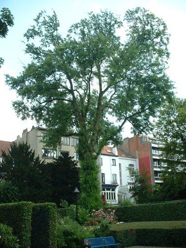 Erable argenté – Ixelles, Parc de l'Abbé Froidure, Rue Franz Merjay –  18 Juin 2003