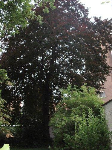 Hêtre pourpre – Bruxelles, Avenue Louise, 223 –  19 Juin 2003