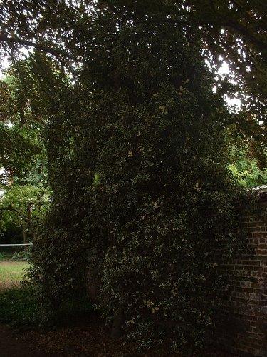 Ilex aquifolium 'Albomarginata' – Forest, Avenue Brugmann, 60 –  19 Juin 2003