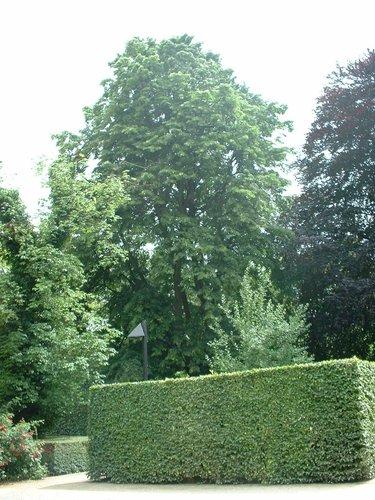 Tilleul argenté – Forest, Avenue Brugmann, 58 –  19 Juin 2003