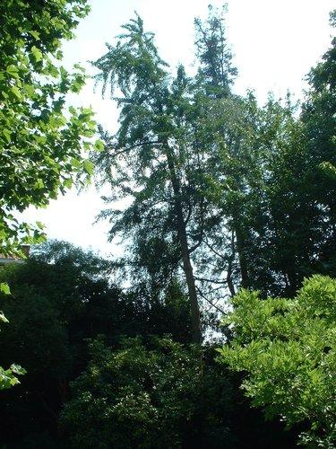 Arbre aux quarante écus – Watermael-Boitsfort, Avenue Léopold Wiener, 87 –  24 Juin 2003