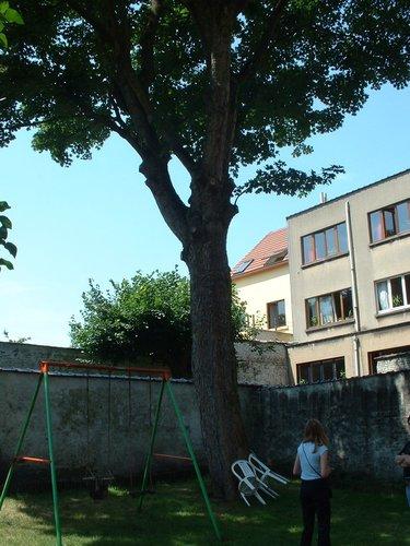 Erable sycomore – Ixelles, Rue des Champs Elysées, 31 –  26 Juin 2003