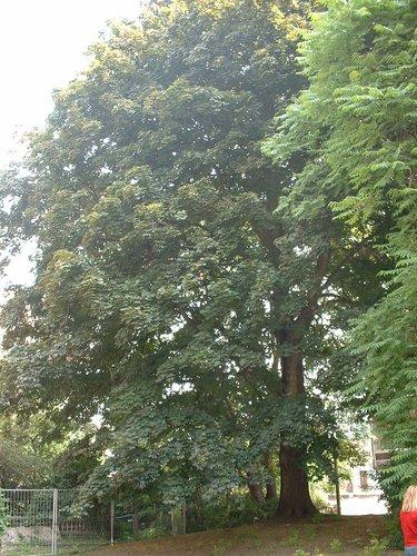 Acer platanoides f. schwedleri<br>Ixelles Jardin de l'œuvre du calvaire Rue Limauge, 14a-c