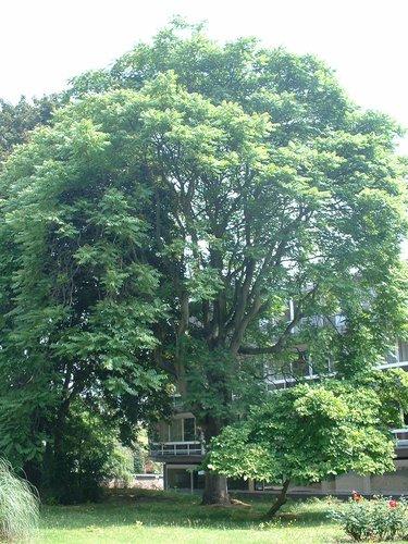 Hemelboom – Elsene, Tuin van de oeuvre du calvaire, Limaugestraat, 14a-c –  27 Juni 2003