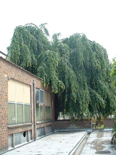 Hêtre pleureur – Ixelles, Rue du Vivier, 80-82 –  27 Juin 2003