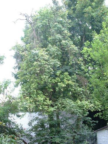 Poirier cultivé – Ixelles, Rue de la Tulipe, 23 –  27 Juin 2003
