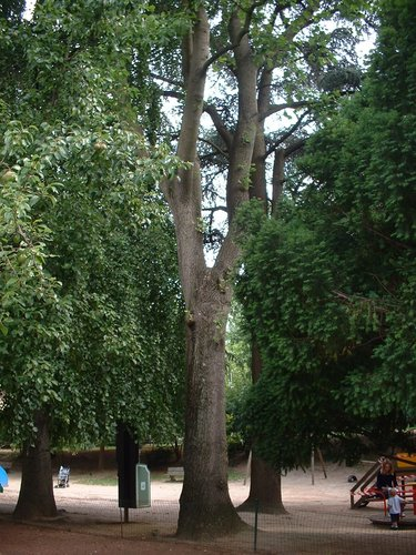 Tulpenboom – Elsene, Jadotpark, Burgemeestersstraat –  08 Juli 2003