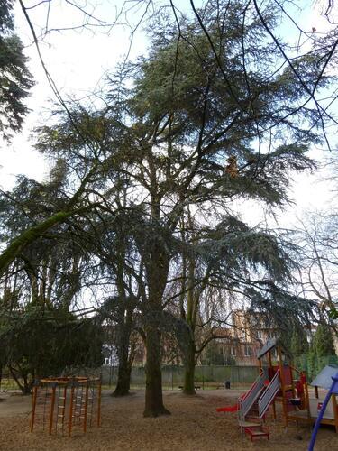 Blauwe ceder – Elsene, Jadotpark, Burgemeestersstraat –  11 December 2012