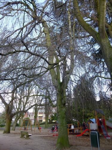 Hêtre pleureur – Ixelles, Parc Jadot, Rue du Bourgmestre –  11 Décembre 2012