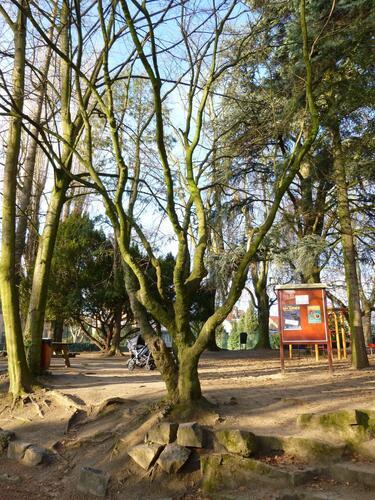 Japanse Esdoorn – Elsene, Jadotpark, Burgemeestersstraat –  08 Juli 2003