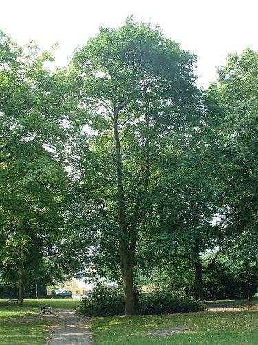 Acer platanoides f. crispum – Watermaal-Bosvoorde, Tuinwijken Le Logis en Floréal, Aartshertogensquare –  09 Juli 2003