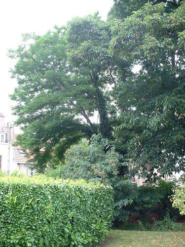 Gewone acacia – Elsene, Kroonlaan, 105 –  09 Juli 2003