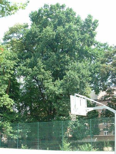 Chêne pédonculé – Ixelles, Avenue de la Couronne, 105 –  09 Juillet 2003