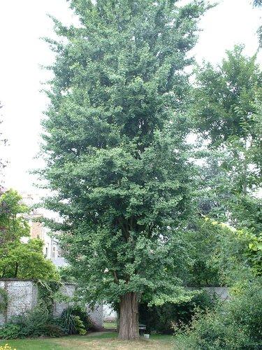 Japanse notenboom – Elsene, Kroonlaan, 262 –  09 Juli 2003