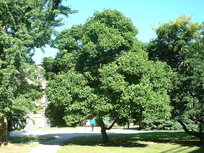Magnolier de Soulange – Bruxelles, Université Libre de Bruxelles - Solbosch, parc –  15 Juillet 2003