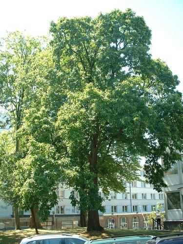 Tamme kastanje – Brussel, Université Libre de Bruxelles - Solbosch, parc –  15 Juli 2003