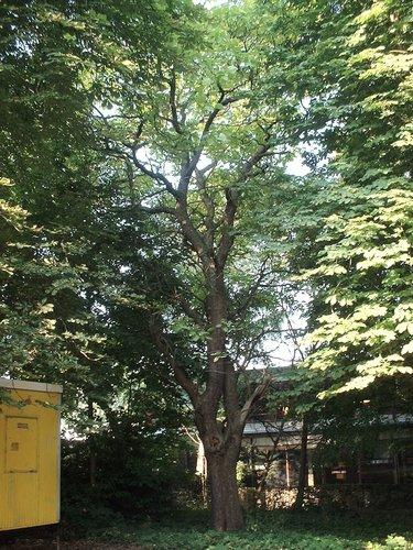 Catalpa commun – Bruxelles, Université Libre de Bruxelles - Solbosch, Avenue Adolphe Buyl –  16 Juillet 2003