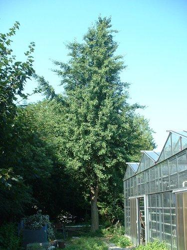 Japanse notenboom – Brussel, Université Libre de Bruxelles - Solbosch, Adolphe Buyllaan –  16 Juli 2003