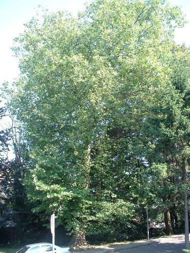 Gewone plataan – Brussel, Université Libre de Bruxelles - Solbosch, Adolphe Buyllaan –  16 Juli 2003