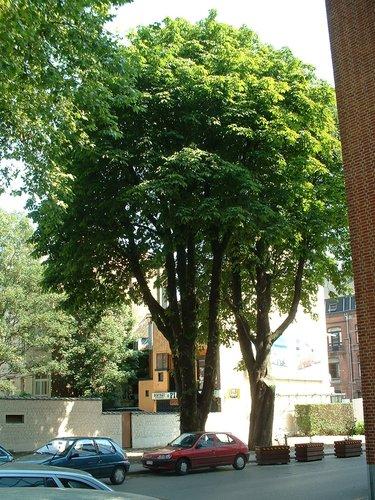 Marronnier commun – Bruxelles, Université Libre de Bruxelles - Solbosch, Avenue Adolphe Buyl –  16 Juillet 2003