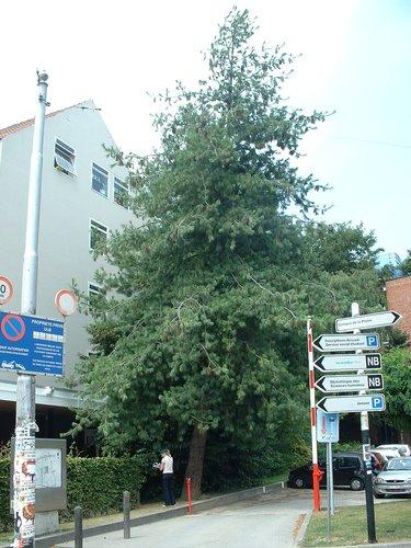 Pin de Weymouth – Ixelles, Université Libre de Bruxelles - Solbosch, Avenue Paul Héger –  16 Juillet 2003