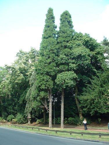 Calocèdre d'Amérique – Ixelles, Allée H.Demarque, Chaussée de Boondael –  30 Juillet 2003