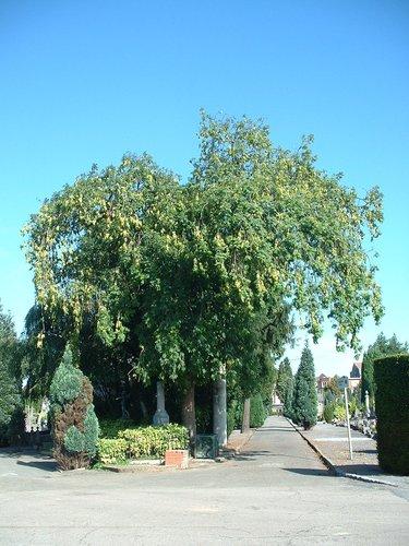Frêne pleureur – Ixelles, Cimetière d'Ixelles, Avenue de l'Université –  31 Juillet 2003