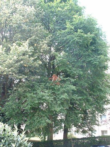 Orme champêtre – Ixelles, Avenue Armand Huysmans, 174 –  31 Juillet 2003