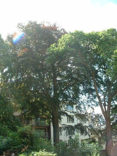 Hêtre pourpre – Ixelles, Avenue Antoine Depage –  31 Juillet 2003
