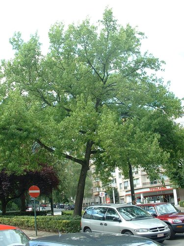 Copalme d'Amérique – Ixelles, Place Marie-José –  31 Juillet 2003