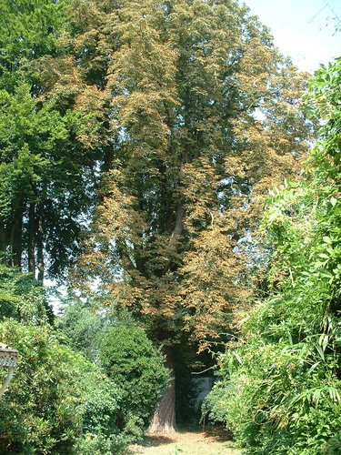 Marronnier commun – Ixelles, Rue de l'Abbaye, 49 –  05 Août 2003